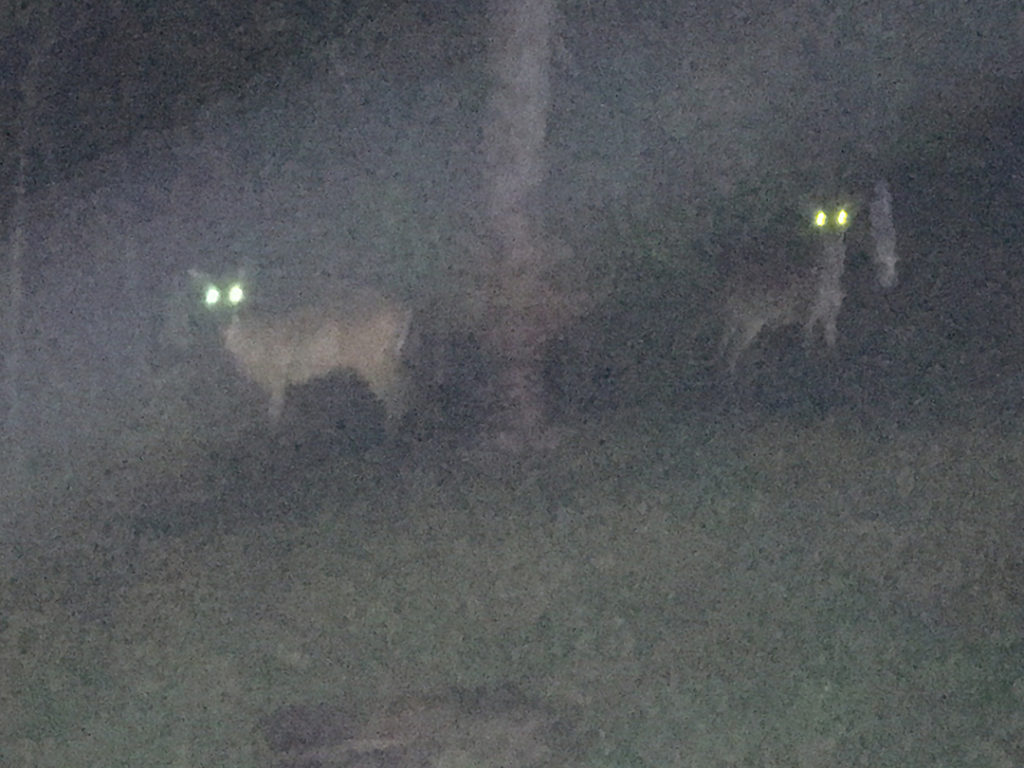 """Two deer in the backyard looking like aliens since the camera's flash was on, acting like...""""wow,, it's Vicki's !"""""""